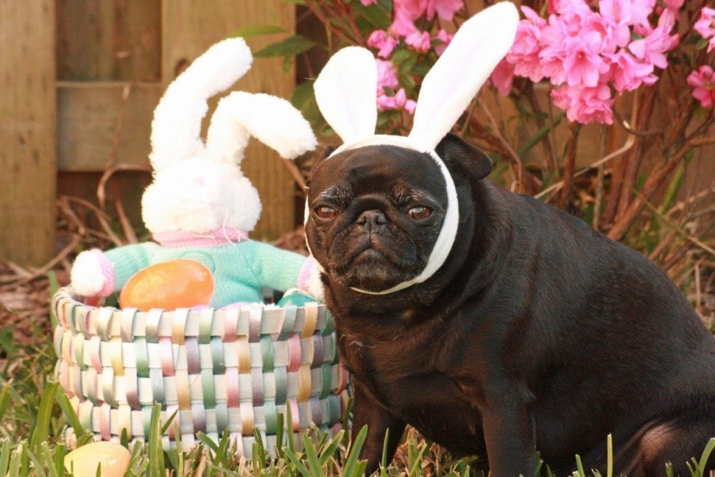 Easter pug from My Pug Obession tumblr