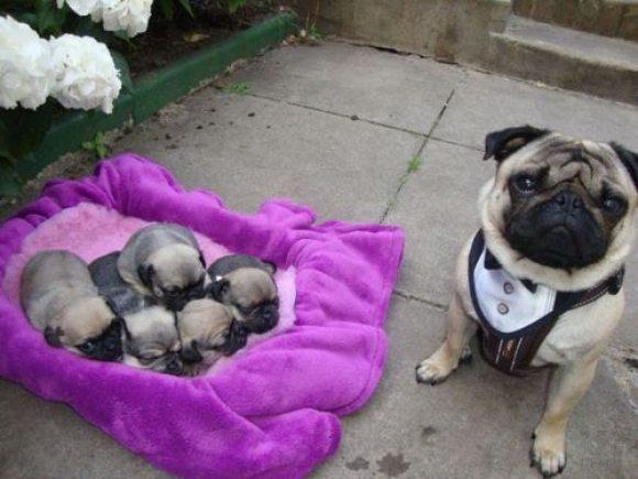 pug-father